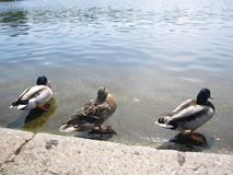 Canards chez Hyde Park, Londres Image libre de droits