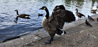 Canards, colombes Image libre de droits