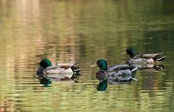 Canards colorés sur le lac Image libre de droits