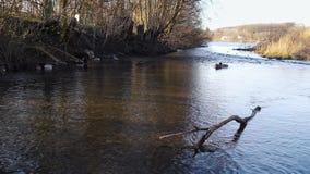Canards détendant à la rivière naturelle près d'un lac banque de vidéos