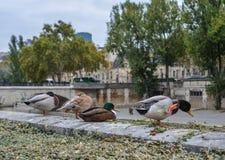 Canards détendant sur la rive de la Seine images libres de droits