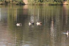 Canards d'étang Photo libre de droits