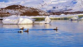 Canards d'Eider au lever de soleil chez Jokulsarlon en Islande Photographie stock