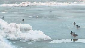 Canards d'oiseaux sur la rivière de glace clips vidéos