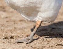 Canards d'une patte en nature Image stock