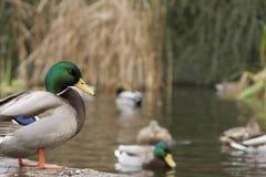Canards dans l'étang Photos libres de droits