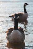 Canards dans l'étang Photographie stock