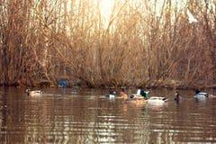 Canards dans l'étang au coucher du soleil Photo libre de droits
