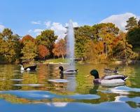 Canards dans l'étang près de Crystal Palace - Madrid Photographie stock