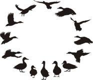 Canards dans l'anneau Images stock