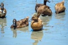 Canards dans l'eau Photographie stock libre de droits