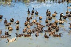 Canards dans l'eau Photographie stock