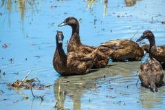 Canards dans l'eau Image libre de droits