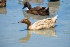Canards dans l'eau Photo stock
