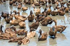 Canards dans l'eau Photos libres de droits