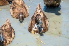 Canards dans l'eau Photo libre de droits