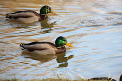 Canards dans l'eau Images stock