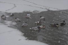 Canards dans l'eau congelée dans des jardins de Jephson, station thermale de Leamington, R-U - paysage d'hiver, le 10 décembre 20 Images libres de droits