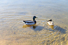 Canards dans l'eau dans le lac Photographie stock