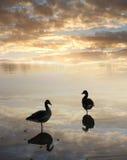 Canards dans l'eau, paysage tranquille de coucher du soleil Photos libres de droits