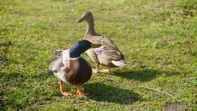 Canards dans l'herbe banque de vidéos