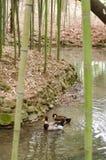 Canards dans la forêt en bambou Photos stock