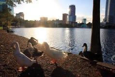 Canards dans la lumière arrière Photographie stock libre de droits