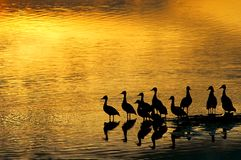 Canards dans le coucher du soleil photos libres de droits