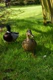 Canards dans le jardin botanique Images libres de droits