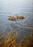 Canards dans le lac Images libres de droits