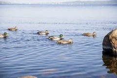 Canards dans le lac photographie stock libre de droits