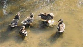 Canards dans le lac banque de vidéos
