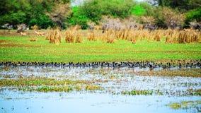 Canards dans le lac au sanctuaire d'oiseau Images libres de droits