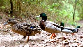 Canards dans le sauvage en automne Photographie stock