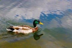 Canards dans le St James Park, Londres image stock