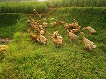 Canards dans les domaines de riz Images libres de droits