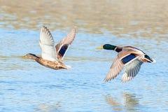 Canards dans les paires volant au-dessus de l'eau Photo stock
