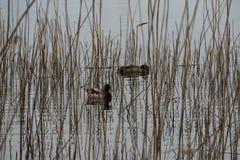 Canards dans les roseaux Image stock