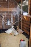 Canards dans leur maison de canard avec le fonctionnement de diffuseur vertical Images stock