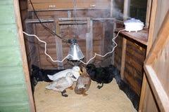 Canards dans leur maison de canard avec un fonctionnement de diffuseur Images libres de droits