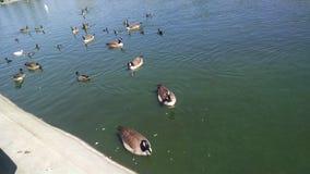 Canards dans un étang images libres de droits