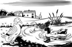 Canards dans un étang photo libre de droits