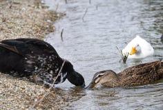 3 canards dans un étang images stock