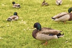 Canards dans un domaine vert photo libre de droits