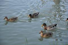 Canards dans un fleuve Image libre de droits