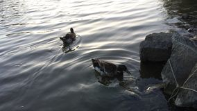 Canards dans un lac Photos stock