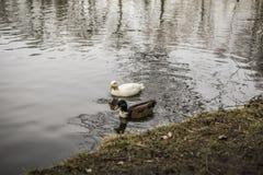 Canards dans un lac Photographie stock libre de droits