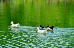 Canards dans un lac images libres de droits