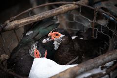 Canards dans une cage étant vendue pour la nourriture Photo stock