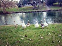 Canards dans une rangée Photos stock